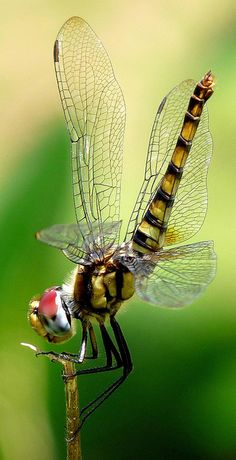 Insect - Dragonfly named Greater Crimson Glider (Urothemis signata) is showcasing the beauty of the frock she wears in Kadavoor, Kerala, India. Amazing Animals, Animals Beautiful, Beautiful Bugs, Beautiful Butterflies, Cool Bugs, Fotografia Macro, A Bug's Life, Praying Mantis, Bugs And Insects
