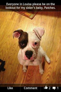 """LOUISA CO., VA-- LOST DOG Update 7/8/13: Still missing! My sister's dog went missing 7/4/13 in Louisa County near Oak Haven Ln/RT 33 area. White and brindle female pure bred boxer. """"Patches"""" please call Amber at 804-929-6843."""