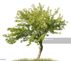 Apple tree in summer isolated on white (Malus domestica). Tree Photoshop, Photoshop Help, Trees And Shrubs, Trees To Plant, Plant Texture, Happy Little Trees, Landscaping Trees, Landscape Materials, Rain Garden