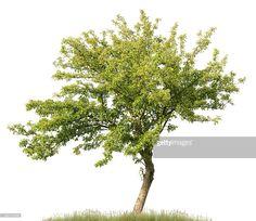 APPLE TREE - Cerca con Google