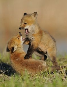 "Fox Cubs:  ""At Play.""                ( # animals )"