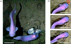 The hadal zone life in the deepest oceans alan jamieson liparid and macrourid fishes of the hadal zone in situ publicscrutiny Images