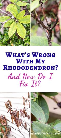 Rhododendron Problems: What's Wrong With My Rhododendron? Are Your Rhododendrons Not Looking As Healthy As They Should? This List Of Rhododendron Problems And Diseases Will Help You Figure Out What You Need To Do To Fix Them. Rhododendron Problems, Rhododendron Care, Plants Under Trees, Trees To Plant, Gardening For Beginners, Gardening Tips, Organic Gardening, Balcony Gardening, Gardens