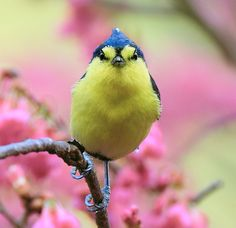 Yellow Tit, taken at Basianshan National Forest, Taichung County, TAIWAN
