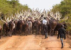 On the move. Photo by Jim Hazzard - Afternoon herding of Ankole cattle near Lake Mburo, Uganda