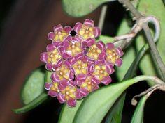 Hoya இڰۣ ❀ Flor de Cera ✿ H. Davidcumingii