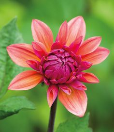 A list of the different dahlia groups, along with some classification info and an example of a variety in each group.