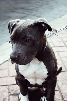 Grey Pitbull