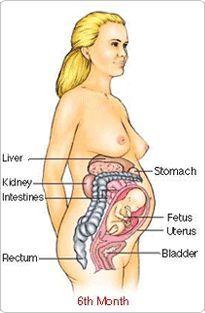 ama database of human anatomy including female reproduction