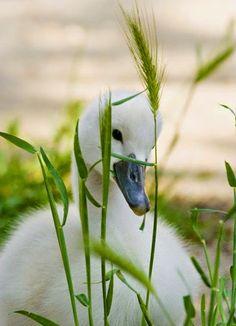 Cygnet , baby swan
