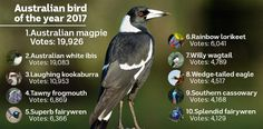 Magpie beats for hotly anticipated Bird of the Year title - ABC News Wedge Tailed Eagle, Australian Animals, Animal Totems, Magpie, Bald Eagle, Lightbox, Wildlife, Science, News
