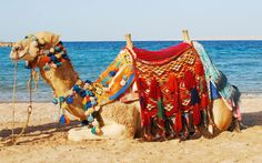 Camel by the Red Sea, Egypt