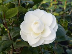 Alba Plena Camellia Camellia japonica 'Alba Plena' Sku One of the oldest and finest Camellia varieties. Flowers contrast well with the glossy, dark green foliage. A prized plant of the milder regions of the U Camellia Plant, Evergreen Shrubs, Camellia, Plants, White Camellia, Camellia Oil, Plant Catalogs, Monrovia Plants, Flowers