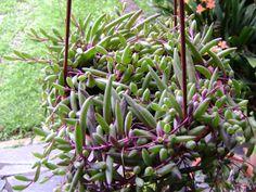 Othonna capensis   Fotografía tomada por billy