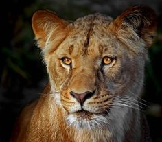 Lioness by Klaus Wiese, via 500px