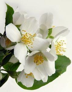 Growing Indoor Jasmine Plants