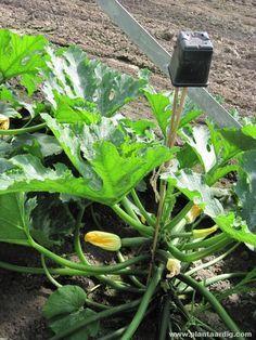 11 tips om langer van uw courgetteplanten te genieten. - GroentenInfo