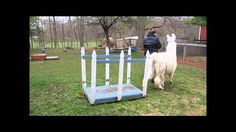 Dawn of Promise Farm has several children and adults who lease llamas, so that they can learn about llama care, training and handling. This video features fu. Llamas, Dawn, Training, Animals, Animaux, Animal, Work Out, Education, Animales