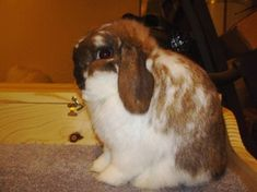 (This is my Holland Lop Profile that will help you make your show quality stock look better, and will help you pick out flaws and good quality's on your rabbits.)