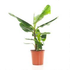 woontrendz-bananenplant-musa