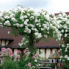 Buy Iceberg from David Austin with a 5 year guarantee and expert aftercare. White Climbing Roses, David Austin Climbing Roses, Large Flowers, White Flowers, Single Flowers, Rambler Rose, Deadheading Roses, David Austin Rosen, Climbing Roses