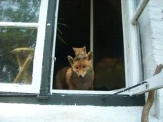 Cat and fox, looking out the window