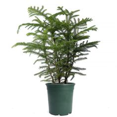 How to Care for a Norfolk Island Pine - Star Pine Best Indoor Trees, Big Indoor Plants, Big Plants, Growing Plants, Tropical Plants, Inside Plants, Indoor Gardening, Norfolk Pine, Plant Insects