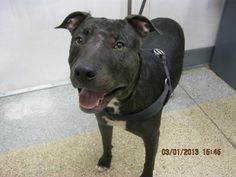 This DOG-ID#A701866    I am a female, black brindle and white Bull Terrier and Pit Bull Terrier.    The shelter staff think I am about 3 years old.    I have been at the shelter since Mar 01, 2013.