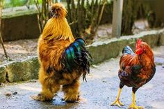 Gorgeous bird, please tell me that these birds are not food!Silkies strutting their stuff All banana, Bro. by Moni on Pretty Birds, Beautiful Birds, Animals Beautiful, Beautiful Swan, Silkie Chickens, Chickens And Roosters, Fancy Chickens, Chickens Backyard, Cutest Animals