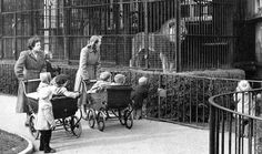Opened in 1836 by the Bristol, Clifton and West of England Zoological Society, Bristol Zoo is the world's oldest provincial zoo. Bristol Zoo, City Of Bristol, Local History, British History, Clifton College, Zoological Garden, Old Lorries, Bristol England, Griffith Park