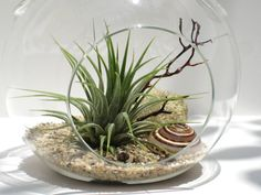 images+of+airplant+terrariums | Air Plant Terrarium - Cozumel - Hanging Terrarium Kit - Beach ...