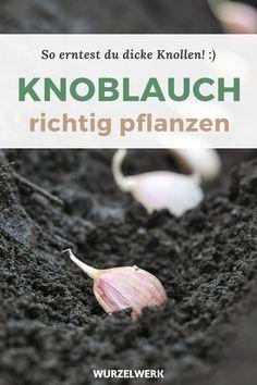 Knoblauch pflanzen: So erntest du richtig dicke Knollen! - Wenn du Knoblauch im eigenen Garten selber ziehen und anbauen möchtest, bist du hier richtig! Egal ob im Herbst oder Frühling, ob mit Zehen oder Brutknollen, ob Softneck oder Hardneck. Ich erkläre dir genau worauf es beim Zehen stecken, Pflanzen, Düngen und Pflegen ankommt. Wusstest du zum Beispiel, dass man sich bildende Blütenschäfte abbrechen kann, damit die Knollen größer werden? #Kräuter #Selbstversorger #Wurzelwerk