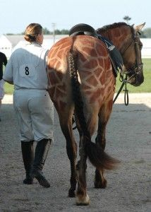 Giraffe Horse Costume - Best Horse Costume Ever! Oko Konia browbands and wearable horse art.