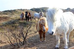 Horses of Vlieland
