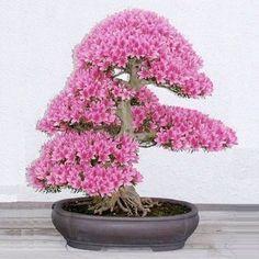 10Pcs Rare Sakura Seeds Cherry Blossoms Seeds Garden Flower Bonsai Tree