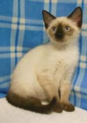 Lily is an adoptable Domestic Short Hair Cat in Miller Beach, IN. Lilly is a 3 month old Siamese mix.   Our Adoptions Include: Spay or Neuter ... ...