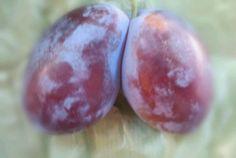 twin plum