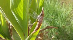 #dragonfly in school's garden.