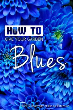 Blue is one of the hardest colors to find for the garden. Read here how to give your garden the BLUES.