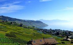 Vignoble au bord du lac Léman