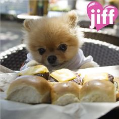 Jiff the Cutest World Famous Pomeranian Dog Out Jiff Pom, Baby Animals, Cute Animals, Aussie Puppies, Pug Puppies, Husky Puppy, Puppy Breeds, Little Dogs, Yorkie