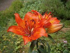 Feuer-Lilie – Wikipedia