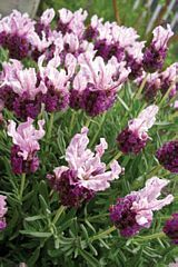 This one is near the very top of my wish list... Loooove the look!  Spanish Lavender, Butterfly Lavender 'Boysenberry Ruffles'  Lavandula