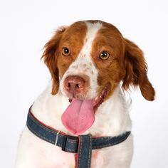 Brittany dog for Adoption in St. Louis Park, MN. ADN-602961 on PuppyFinder.com Gender: Female. Age: