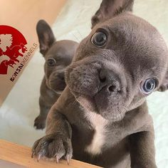 Blue French Bulldog Puppies, @zen_the_french_bulldog & @bonsai_breakfast_club . by @DAILY_FRENCHIE