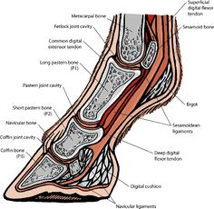 A Quick Curricular of Navicular - Horse Boots Customer Help   EasyCare