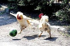 Roosters playing soccer.