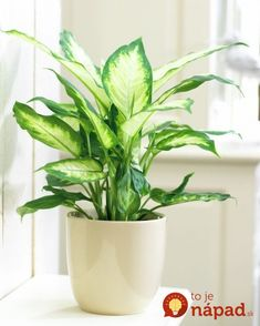 Zimmerpflanzen Poisonous houseplants - 20 poisonous plants you should know # easy-care indoor Inside Plants, Cool Plants, Water Plants, Sun Plants, House Plants Decor, Plant Decor, Easy House Plants, Container Plants, Container Gardening