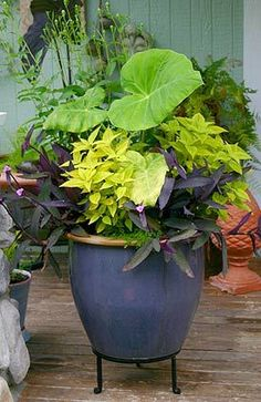 Beautiful container and heat tolerant plants can be found at Lowe's: Elephant's Ear Colocasia, balloon flower, golden coleus, Purple Heart (Tradescantia or Setcreasea pallida) and tiny baby's tears Container Plants, Container Gardening, Succulent Containers, Container Flowers, Outdoor Plants, Outdoor Gardens, Porch Plants, Pot Jardin, Garden Planters