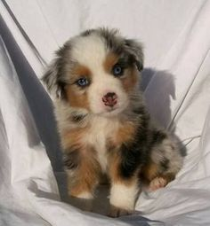 AUSTRALIAN SHEPHERD DOG An energetic breed with strong herding and guarding instincts, the Aussie requires daily vigorous exercise. Description from pinterest.com. I searched for this on bing.com/images